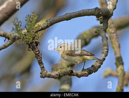 Chiffchaff (Phylloscopus collybita) common chiffchaff - Stock Photo