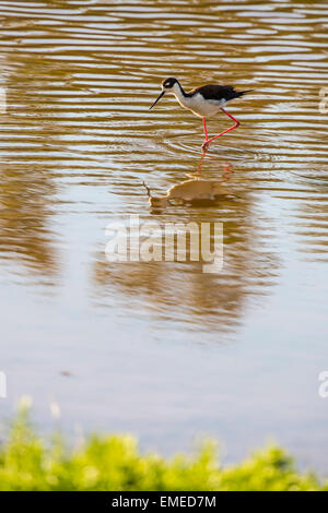Black-necked Stilt (Himantopus mexicanus) wading at Eco pond in the Florida Everglades National Park. - Stock Photo