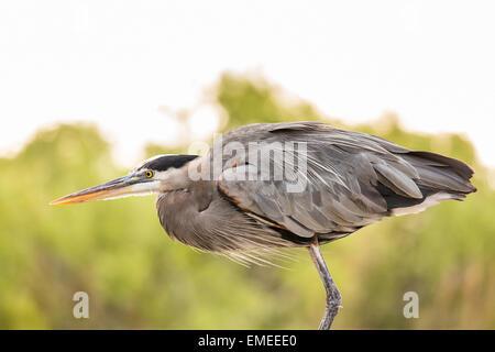 Great blue heron (Ardea herodias), Florida Everglades National Park, USA. - Stock Photo