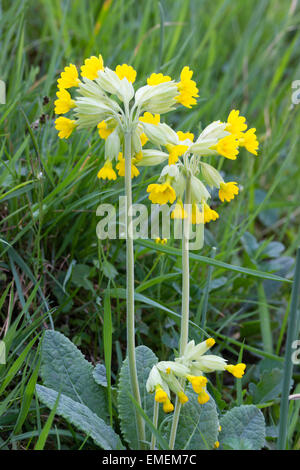Heads of yellow spring blooms of the cowslip, Primula veris - Stock Photo