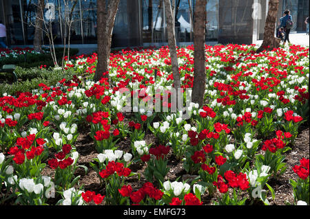 Tulips blooming at Brookfield Place in Battery Park City. April 18, 2015 - Stock Photo