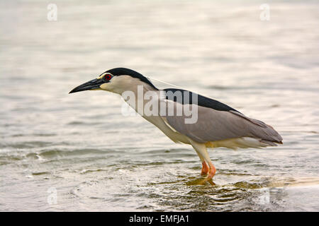 Black crowned night heron, nycticorax nycticorax - Stock Photo