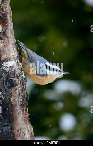 Red-breasted Nuthatch (Sitta canadensis), Western Montana - Stock Photo