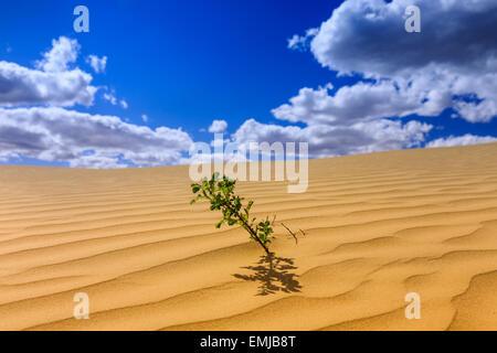 A lone plant in the Great Sandhills, near Sceptre, Saskatchewan, Canada - Stock Photo