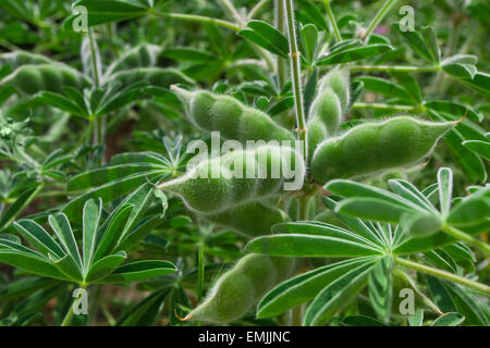 Closeup on green pods of legumes growing in the garden - Stock Photo