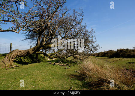 Windswept Hawthorn on Vagar Hill, Herefordshire - Stock Photo