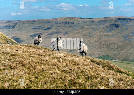 Sheep, Wild Boar Fell, near Kirkby Stephen, Cumbria, UK, with Mallerstang in the distance. A popular destination - Stock Photo