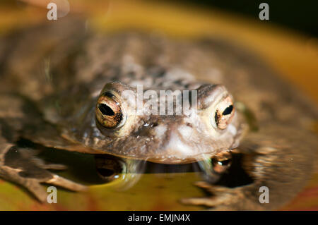 Common Toad (Bufo bufo) in the pond during the spawning period Germany Europe - Stock Photo