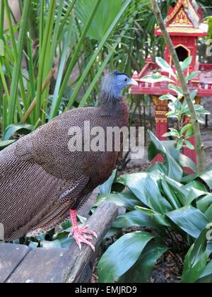 beautiful male Great Argus (Argusianus argus) - Stock Photo
