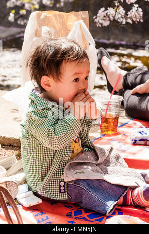 Japanese child, boy, 2-3 year old, sitting in sunshine under cherry blossoms eating an orange by pushing it into - Stock Photo