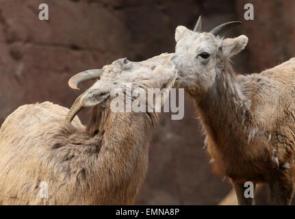 Two female  Bighorn sheep (Ovis canadensis) - Stock Photo