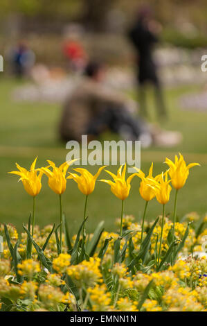 London, UK. 22 April 2015. Thanks to the recent warm weather, the tulips in Hyde Park put on a spectacular spring - Stock Photo