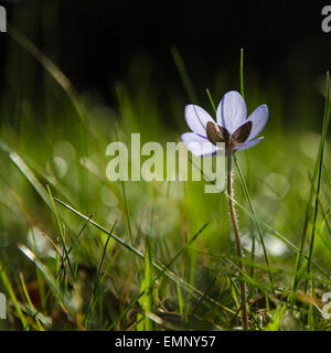 Low angle photo of a backlit shiny Hepatica flower - Stock Photo