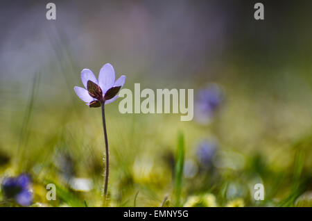 Single blue Hepatica flower with soft background and photo taken at low perspective - Stock Photo