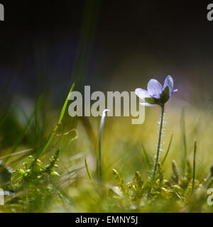 Soft image with a single backlit Hepatica in the green grass and moss. Photo is taken from a low perspective. - Stock Photo
