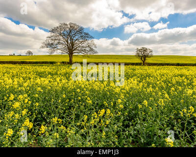 A wonderful view of the rapeseed fields of the Chiltern Hills in early spring whilst in blossom. - Stock Photo