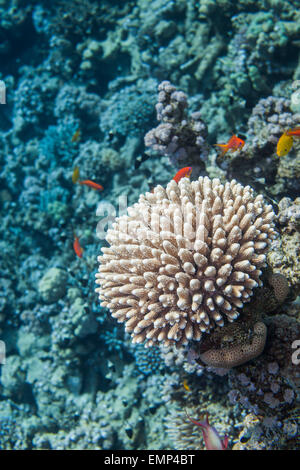 Red sea coral close up - Stock Photo