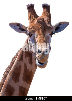 portrait of a giraffe showing head and part of neck. Looking at camera. Silly pose. Isolated on white background - Stock Photo