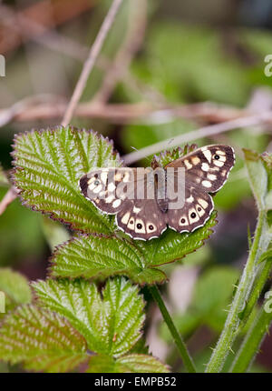 Speckled Wood butterfly resting on bramble. Bookham Common, Surrey, England. - Stock Photo