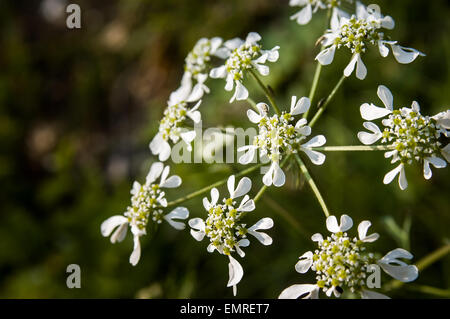 Closeup of an Orlaya Grandiflora from the Apiaceae family - Stock Photo