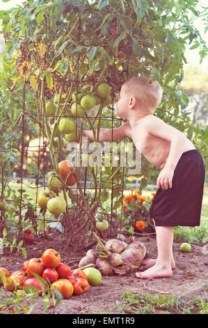 child picking tomatoes out of vegetable garden - Stock Photo