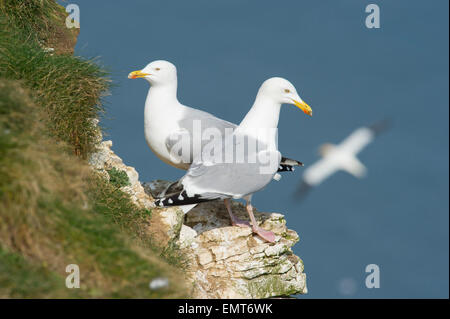A Pair of Herring Gulls (Larus argentatus) perched on a ledge at Bempton Cliffs in East Yorkshire - Stock Photo
