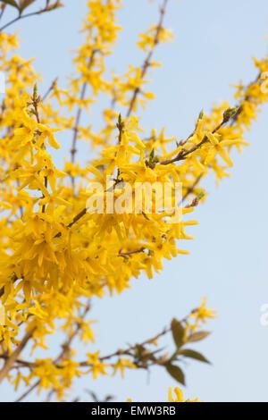 Forsythia flowering in springtime against a light blue sky - Stock Photo