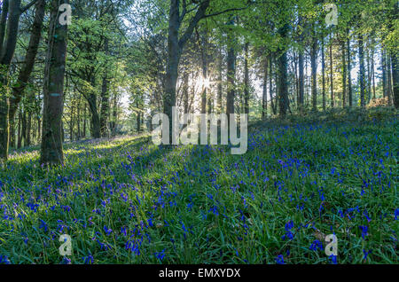 Stunning bluebell woods in cornwall england uk - Stock Photo