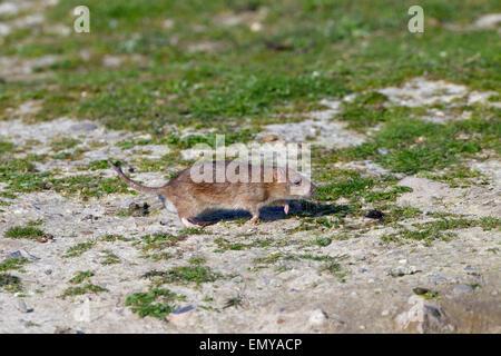 Brown Rat Rattus norvegicus running from hole - Stock Photo