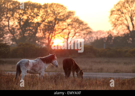 New Forest Ponies grazing at Dusk in the New Forest UK near Beaulieu - Stock Photo