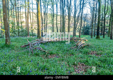 Stunning natural sculpture in idless woods with bluebells Cornwall england uk - Stock Photo