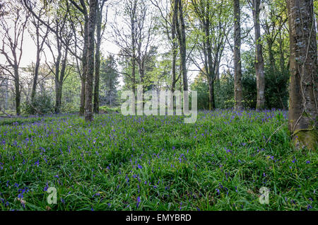 Bluebell woods in cornwall england uk Idless - Stock Photo