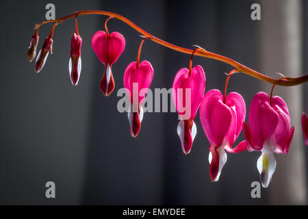 Chinese plant, the Bleeding heart, or Asian bleeding-heart. Lamprocapnos spectabilis    Genus: Dicentra - Stock Photo