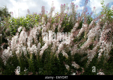 Rosebay willowherb (Chamerion angustifolium) - Stock Photo
