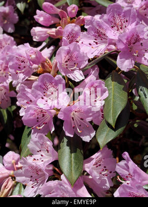 The vivid pink of these azalea flowers in bright spring sunshine contrast with te dark, waxy leaves. - Stock Photo