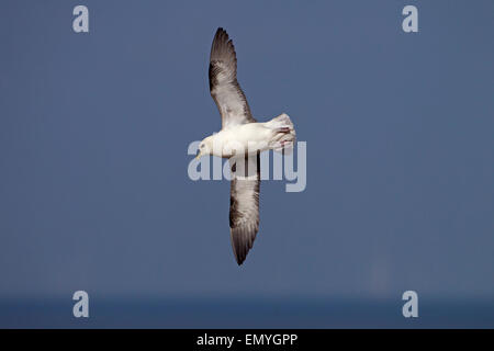 Fulmar Fulmarus glacialis in flight over cliffs at Hunstanton West Norfolk - Stock Photo