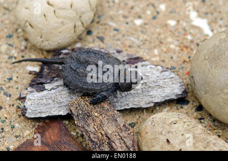Baby snapping turtle on a pieces of old wood and rocks. - Stock Photo