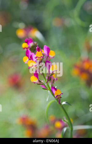 Linaria reticulata flamenco. Spurred Snapdragon flowers - Stock Photo
