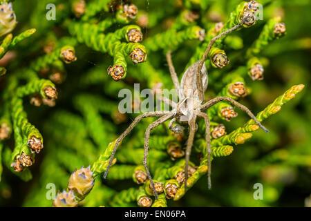 Spider Zoropsis spinimana - Stock Photo