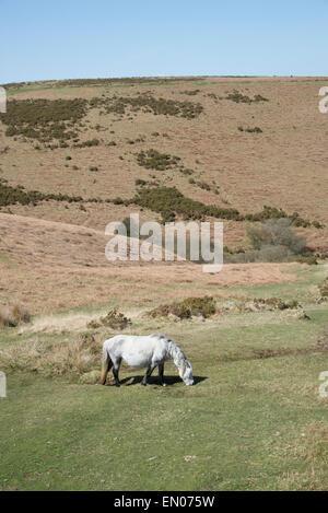 Wild pony grazing on moorland in the Dartmoor National Park Devon UK - Stock Photo