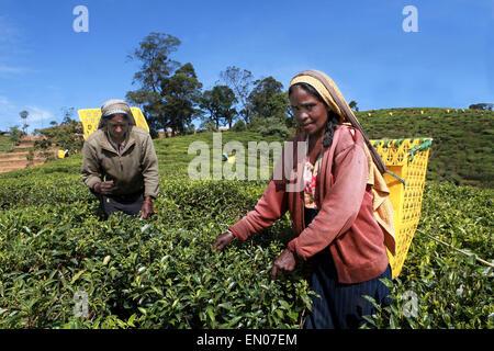 SRI LANKA: tea plantations in Nuwara Eliya: tamilise women picking tea at a tea plantation - Stock Photo