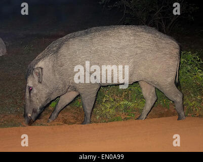 Yala National Park,Sri Lanka: wild boar - Stock Photo