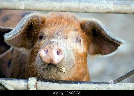 Piglet(Sus scrofa domestica) on a organic farm - Stock Photo
