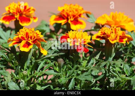 Yellow orange marigold flowers in garden - Stock Photo