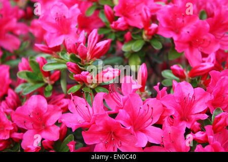 Pink azalea flowers in garden - Stock Photo