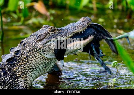 american alligator, viera wetlands - Stock Photo