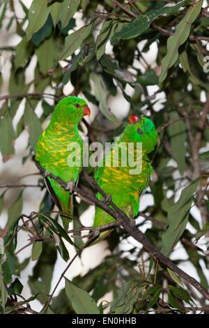 Scaly-breasted Lorikeet, Trichoglossus chlorolepidotus, Brisbane, Australia - Stock Photo