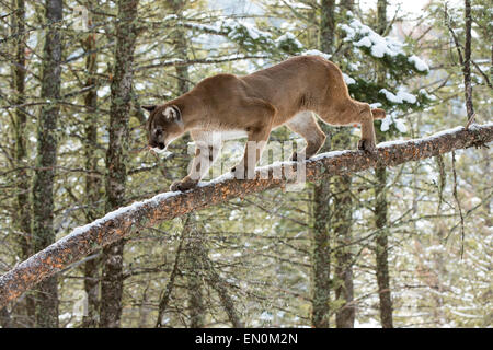 Mountain Lion (Felis concolor) on a branch, climbing a tree - Stock Photo