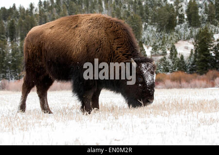 American Bison (Bison bison) grazing in the snow during Winter - Stock Photo
