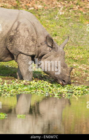 Endangered One Horned Rhinoceros or Rhinoceros unicornis at Kaziranga National Park, Assam. - Stock Photo